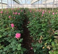 Renowned Rose Farm for Sale ABM ID #4094